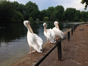Pelicans in the park